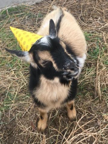 Vincent, The Party Goat