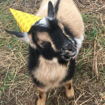 Vincent, The Party Goat